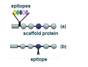 epitope scaffold protein