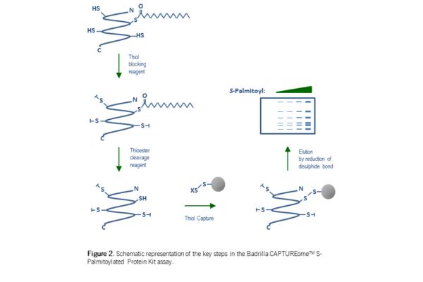 Captureome spalmitoylated protein