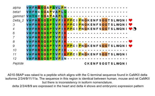 camkii delta isoforms