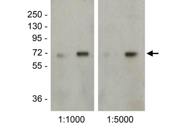 nitrotyrosine mab bsa