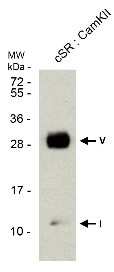 phospholamban pab serum2
