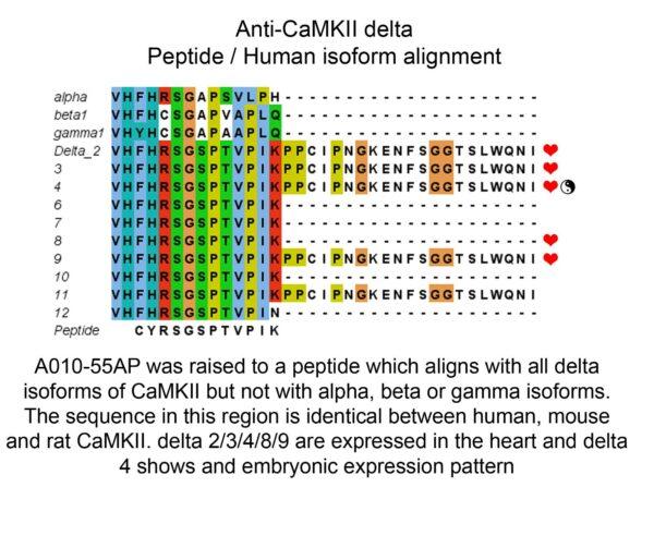peptide human isoform